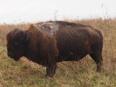 Sparky is one tough bison at Neal Smith National Wildlife Refuge in Iowa. In summer 2013, Sparky was struck by lightning on his shoulder hump.