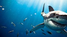 The great white shark returns to Cape Cod