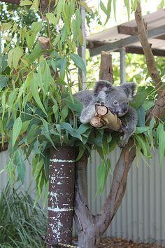 Koala, Magnetic Island, Australia