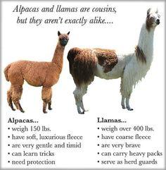 Alpaca & Llama. llama guard herd of alpacas