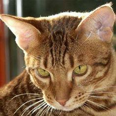 Gatos Ocicat Ocicat, Folk, Cinnamon, Breeds Of Cats, Kitty Cats, Kitty Cat Pictures, Animaux, Canela, Popular