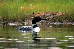 Loon by Missie Peterson.