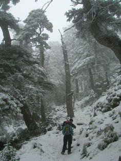 Bosque de pinsapos de la Sierra de las Nieves 2011 -Febrero - en Ronda