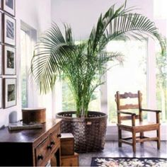 This hearty tree brings the tropics inside with an added dose of life and color. Try placing it in a basket for an even beachier look.   A dark corner is instantly made bright with a tall, elegant palm.