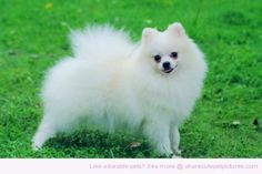 Pomeranian size: small exercise: low grooming: low trainability: very easy