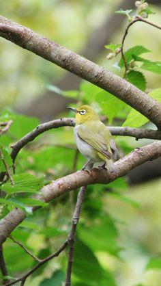 綠繡眼   Zosterops japonicus   雀形目綉眼鳥科   台語:青笛仔、青啼仔    攝影地點:台北市 大安森林公園