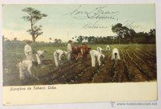 CUBA. SIEMBRA DE TABACO. (CIRCULADA EN 1905. HABANA, CUBA - BARCELONA) (Postales - Postales Extranjero - América - Cuba)