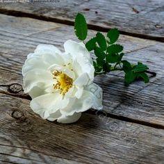 Juhannusruusu Pansies, Daffodils, Happy Flowers, Love Rose, Lily Of The Valley, Beautiful Roses, White Flowers, Flower Art, Flower Arrangements