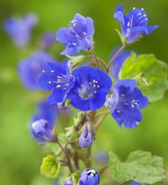 Phacelia campanularia (California bluebell)- Sarah Raven. They bloom best given cool, dry, sunny weather in the spring and diminish in the hot, humid weather of summer.  Plant seeds directly in side garden.