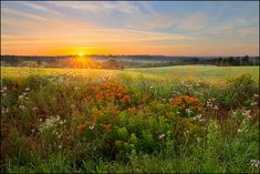 Nature photography, sunrise, wildflowers, summer, Ozark Mountains, Arkansas, coneflower, butterfly weed