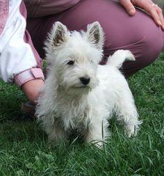 Westie Puppies Blog » Blog Archive » Westie Puppy
