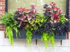 a dramatic plant color scheme window box for shady locations.left to right, boston fern, 1 solid purple and 2 variegated coleus (purple+green), purple sweet potato vine and trailing creeping jenny. oh happy coleus! Container Flowers, Container Plants, Container Gardening, Flower Gardening, Organic Gardening, Gardening Zones, Container Design, Window Box Plants, Window Box Flowers