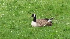 Lac Daumesnil * A Canadian Goose resting on grass ..