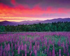Purple mountain majesties!!! Bebe'!!! Sunrises over a field of purple lupine!!! Love this photograph!!!