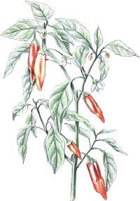 Cayenne Pepper: Herbal Remedies http://health.howstuffworks.com/wellness/natural-medicine/herbal-remedies/cayenne-pepper-herbal-remedies.htm