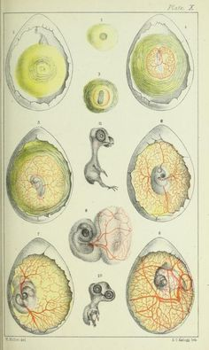 Plate X. Chicken embryo. Illustrations of the microscopic anatomy of the human body in health and disease. 1869.