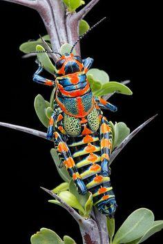 Rainbow Grasshopper on Octotillo by Bob Jensen, via 500px