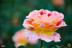 Rose by alma_vzla