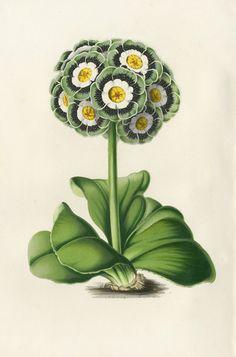 Primula Auricula Botanical Illustration