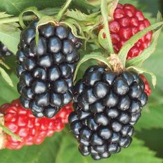 how to grow Quachita thornless blackberry plants and raspberry plants. 2 gallon Quachita blackberry plants sold at herbfest after hardening outside for 1 year in zone 7 climate. Blackberry plants self pollinate so only need 1 plant. Blackberry Plants, Blackberry Bush, Blackberry Bramble, Blackberry Recipes, Thornless Blackberries, Growing Blackberries, Blueberries, Dwarf Fruit Trees, Fruit Plants