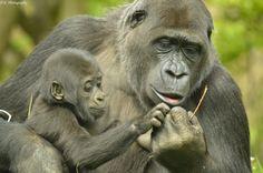 https://flic.kr/p/sJVXpw | Gorilla with her baby | seen at Gaiazoo Kerkrade