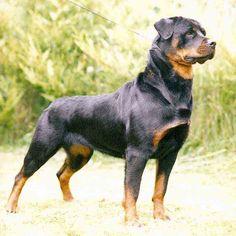 Rottweiler, my love.