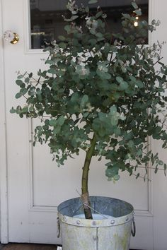 How to Grow Eucalyptus Indoors or Outdoors