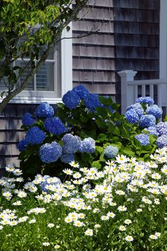 I love vibrant blue hydrangeas and these are sImply beautiful. #capecod #capecodhomesforsale www.capecodrelo.com