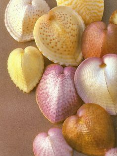 ** ❥ Heart Cockles (seashells) I have never seen seashells like these and think they are so beautiful-you can,t beat nature for colour and design