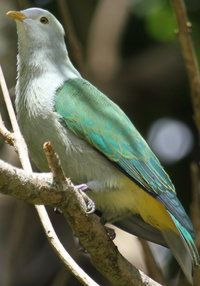 Gray Green Fruit Dove.