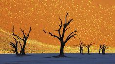 Dead camelthorn trees, Sossusvlei, Namib-Naukluft National Park, Namibia. Frans Lanting Photography.