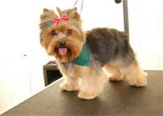 Teddy Bear Yorkie Haircut -
