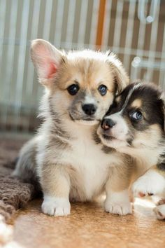 ",, BEAUTIFUL "" Corgi  puppies."