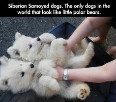 Looks like my puppy, an american eskimo dog, which is related to the samoyed.so freakin cute
