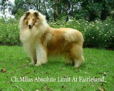 Ch.Milas Absolute Limit At Fairieland - Ch Am Milas Absolute Latin & Fairieland Fairy Queen Criador:Canil Milas E.U.A Proprietário:Canil Fairieland BR - Fotolog
