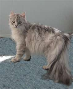 Russian Siberian Cat--  They are hypo-allergenic! That means Chris can probably have one!!!