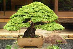 Te Yang Bonsai: Grandes Mestres - Dayzo Iwasaki