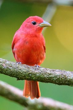 Tangara Veranera - Summer Tanager - (Piranga rubra) by Peet van Schalkwyk* Different Birds, Kinds Of Birds, All Birds, Little Birds, Love Birds, Exotic Birds, Colorful Birds, Pretty Birds, Beautiful Birds