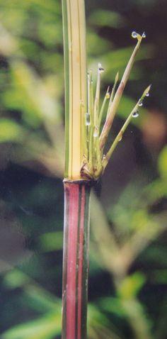 Himalayacalamus Falconeri cv Damarapa