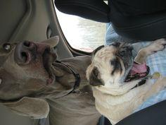 weimaraner + pug yawn.