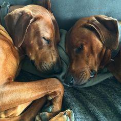 #feature_my_rhodesianridgeback #dogstagram #doglover #dog #dogoftheday #rhodesianridgeback #rhodesianridgebacklove #rhodesianridgebackofinstagram #ridgeback #
