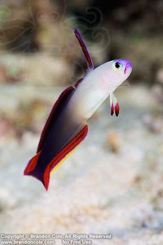 Fire Dartfish (Nemateleotris magnifica). Australia Great Barrier Reef Pacific Ocean. Photo Copyright © Brandon Cole.