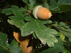 During the witch trials in Europe in the late 16th and early 17th centuries, real witches would hand a person an acorn to signal to them that they are a practitioner of the Old Ways. Acorns are sacred seeds of the Oak tree.
