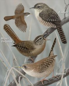 House Wren - Whatbird.com  I had one of these sweet birds fly into the kitchen years ago. Came in, hopped about and checked things out and then flew back out again.