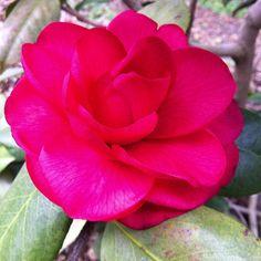 Camellia japonica 'Rosea Superba' in Flagler Garden at Lewis Ginter Botanical Garden.