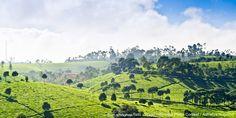 Perkebunan teh dengan sedikit sentuhan kabut dan sinar matahari pagi di daerah Pangalengan, http://go.wego.com/_Bandung