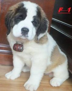 AKC Champ blood Saint Bernard puppies for sale !