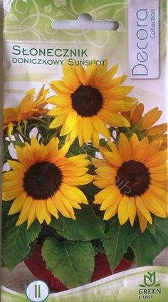 Słonecznik doniczkowy Sunspot - Sklep internetowy
