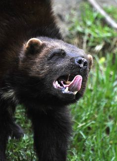 Wolverine (Gulo gulo). Photo by Giant Animals.