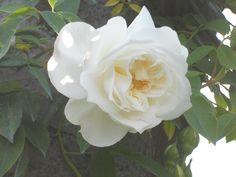 Lamarque - Noisette Rose
